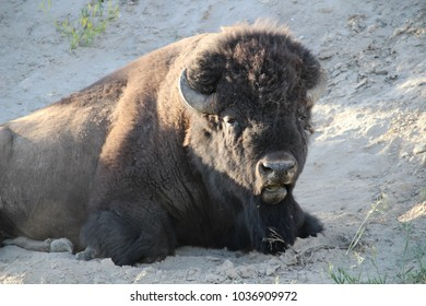 Buffalo relaxing in Yellowstone National Park, Wyoming, USA.