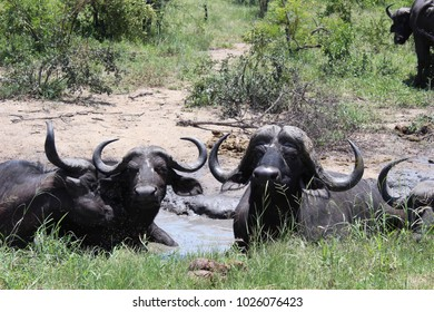 Buffalo resting in the mud in the african bush on a sunny, warm day