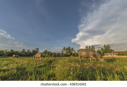 buffalo in rice field. Evening landscape in countryside of Thailand.
