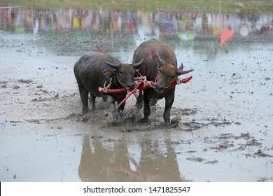 Buffalo is running in a buffalo run tradition in Chonburi, Thailand.
