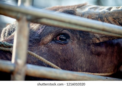 buffalo with sad eye