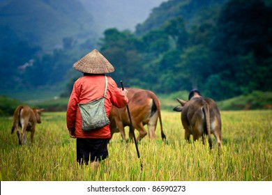 buffalo shepherd on the rice field