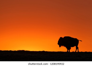 A buffalo silhouette on a sunset sky in Badlands
