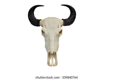 Buffalo skull isolated white background