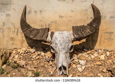 Buffalo skull on the ground
