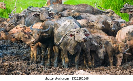Buffalo in stall