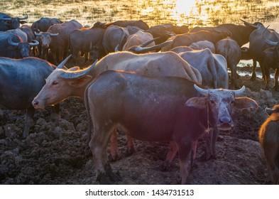 Buffalo in stall at sunset