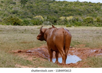 Buffalo standing at his mud bath in the field