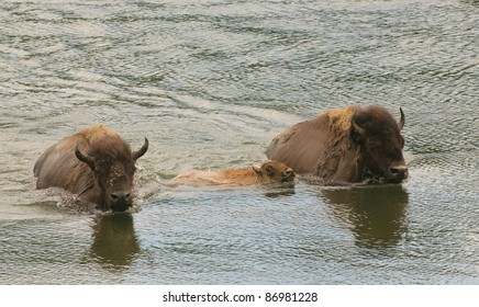 buffalo swimming across the Yellowstone river in Yellowstone National Park