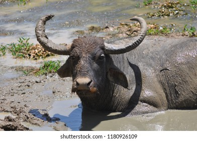 Buffalo taking mud bath