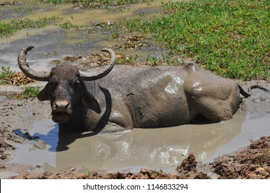 Buffalo taking mud bath Sri lanka