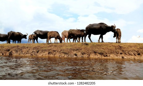 The buffalo in Thale Noi Waterfowl Reserve at in Phatthalung province