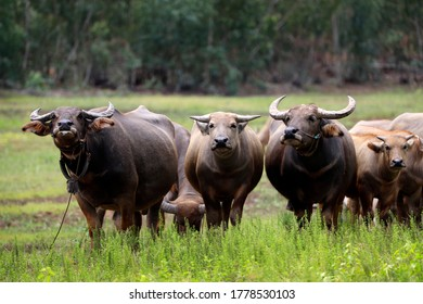 buffalo that are raised in the meadow
