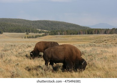Buffalo in a valley