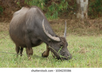 Buffalo in village of Thailand