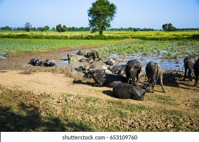 Buffalo, water buffalo and Clay