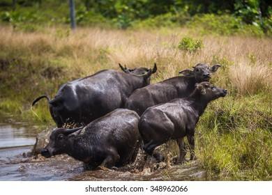 Buffalo in the wild.