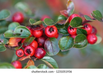 Buffaloberry, shrubred berries.