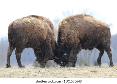 Buffaloes are fighting it out