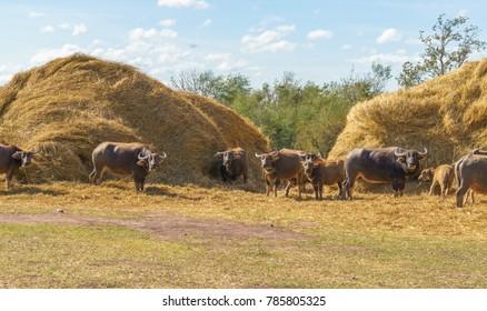 buffaloes gathering and eating around haystacks