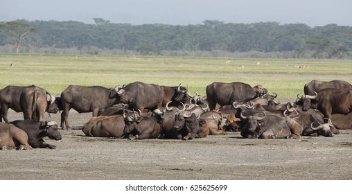 the buffaloes lies resting