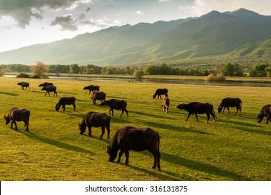 Buffaloes at sunset near Kerkini Lake in Greece