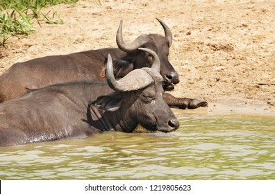 Buffaloes in a water, Kazinga Channel in Queen Elizabeth National Park, Uganda