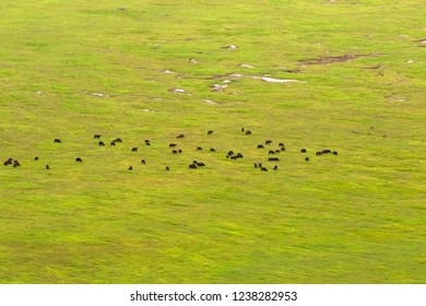 Buffaloes, Zebras grazing on grass, green field at the floor of Ngorongoro Crater Conservation Area, view from edge of crater in Tanzania, East Africa