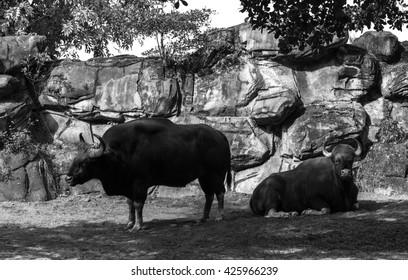 Buffalo's