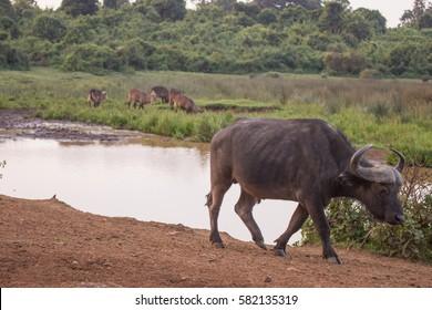 buffalos in Aberdare National Park in Kenya Africa