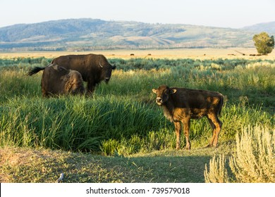 Buffalo's (Bison's) with calf in Grand Teton National Park, Wyoming, USA