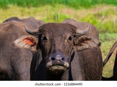 Buffalo's close up face
