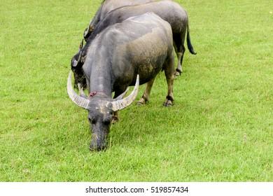 Buffalos eating grass outdoors.