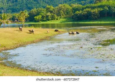 Buffalos in the field.