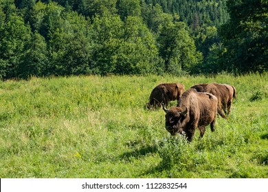 Buffalos grazing outside a forest