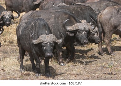 Buffalos grouping together for protection