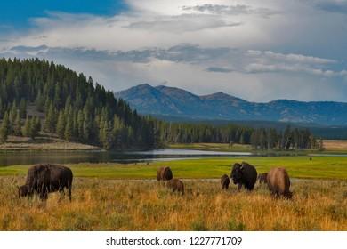 Buffalos at Hayden Valley, Yellowstone, National Park, Wyoming, USA