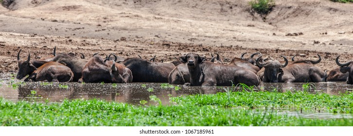 Buffalos at the Kazinga Channel in the Queen Elizabeth National Park, Uganda
