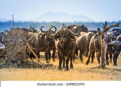Buffalos in Liwonde N.P. - Malawi