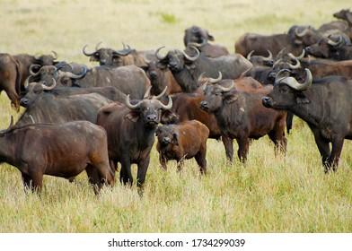 Buffalos in Ngorongoro Crater - Tanzania