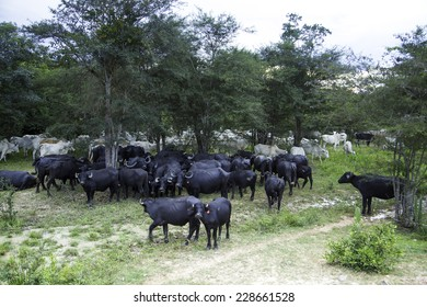 Buffalos in the Pantanal Farm, Brazil