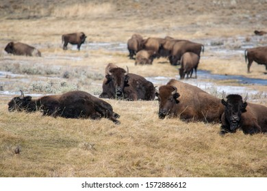 Buffalos are relaxing on the sun in the Yellowstone National Park