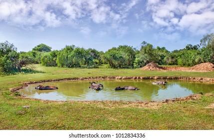 Buffalos in a water on hot sunny day in Sri Lanka.
