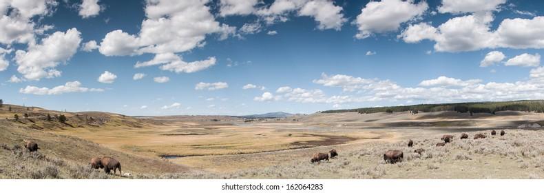 Buffalos at Yellow Stone National Park