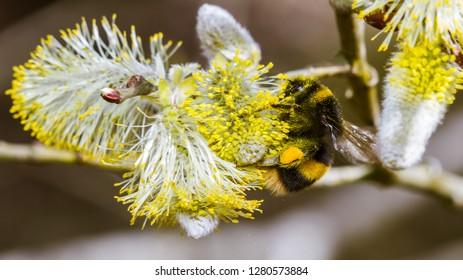 Buff-tailed Bumblebee (Bombus terrestris) feeding on sallow blossom