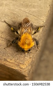 Buff-tailed bumblebee or large earth bumblebee (lat. Bombus terrestris) on a wooden plank