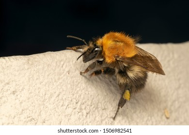 Buff-tailed bumblebee or large earth bumblebee (lat. Bombus terrestris) on a white stone