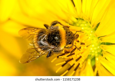 buff-tailed bumblebee on compass flower