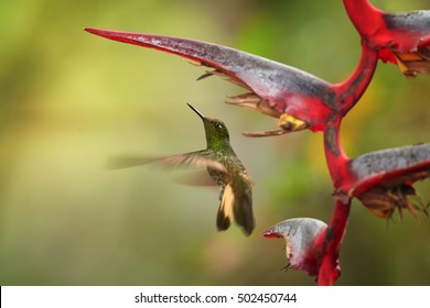 Buff-tailed Coronet,Boissonneaua flavescens, green hummingbird, hovering under red heliconia flower. Colombia, Rio Blanco.