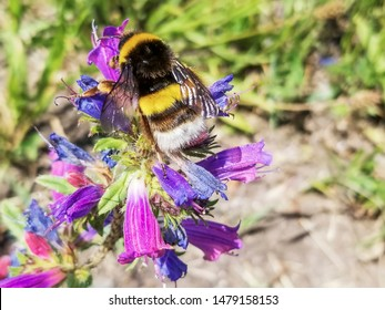 Buff-tailed or large earth bumblebee, Bombus terrestris, in Galicia, Spain
